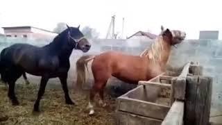 Horse Mating |Horse Meeting| Animal Mating #HorseMating #Wildlife #donkey Mate [Animal Breed] Video