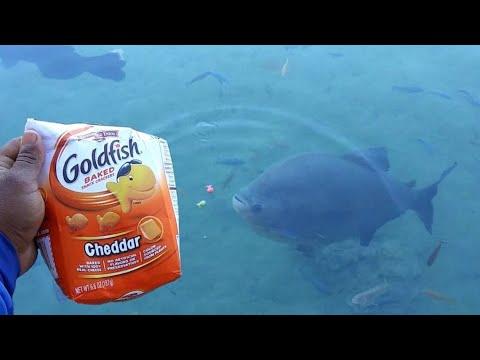 Do Piranhas like Goldfish?