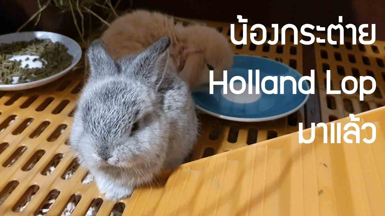 ซื้อน้องกระต่าย Holland Lop เข้าบ้าน ครั้งแรก เตรียมกรง เตรียมคอก เตรียมอาหารสำหรับน้อง VLOG