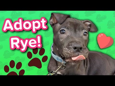 Adopt Rye // 4 month old Pitbull // Adoptable Featurette