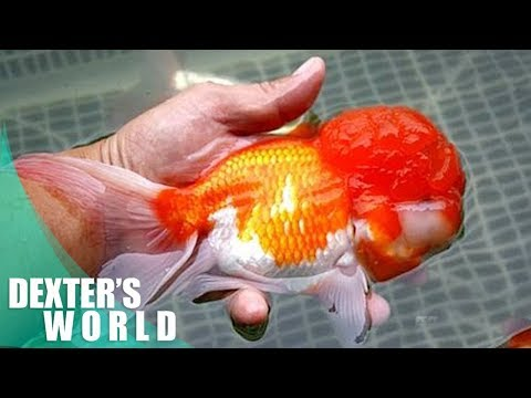 SELECTING the best quality of LIONHEAD GOLDFISH !