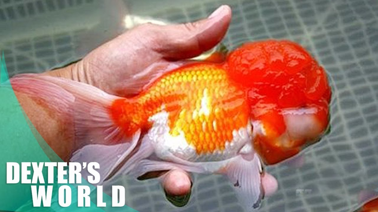 Selecting The Best Quality Of Lionhead Goldfish Youtube