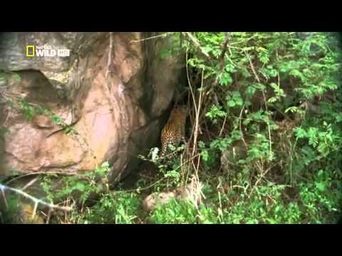 Báo đốm trả thù trăn khổng lồ vì bị nuốt mất con