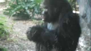 Gorilla eating his own poop!