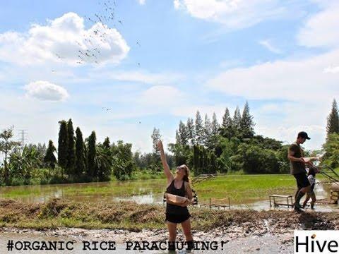 organic-rice-parachuting-with-hive