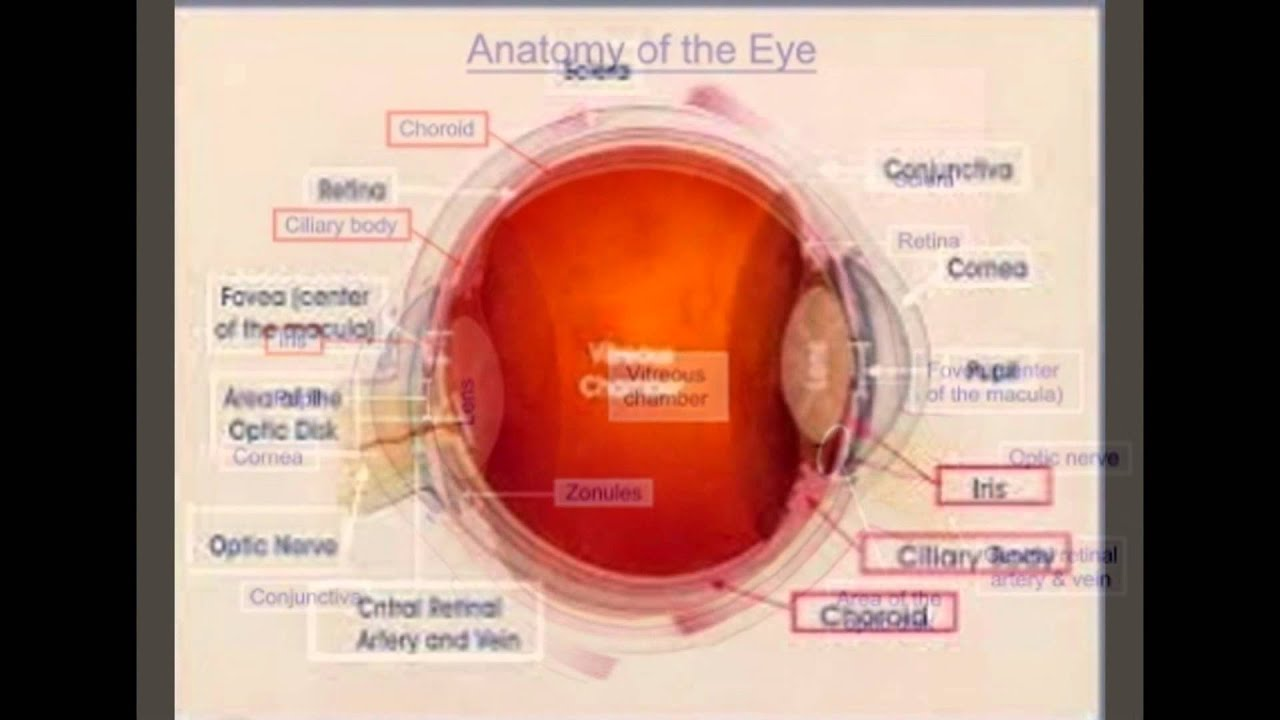 Parts Of The Eye And Their Functions For Kids - YouTube