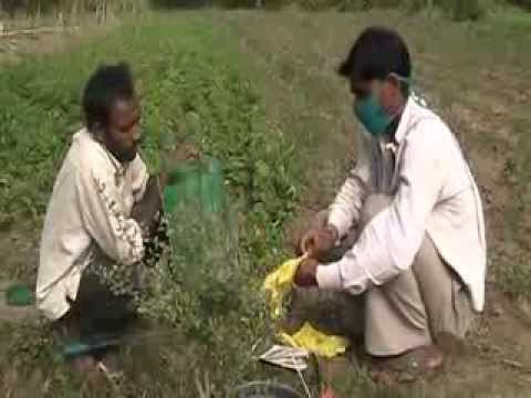 Prevention of disease in potatoes leaf curl HINDI ACCESS MOVIE
