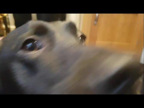 Black Labrador Pointer