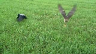 Hawk vs. Crow  /  Crow vs. Hawk
