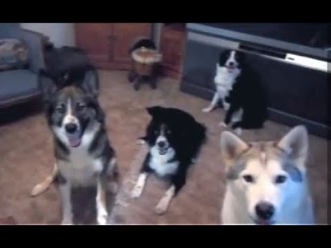 Pack of Dogs barking and playing. Sure to make your pet react. And you smile.