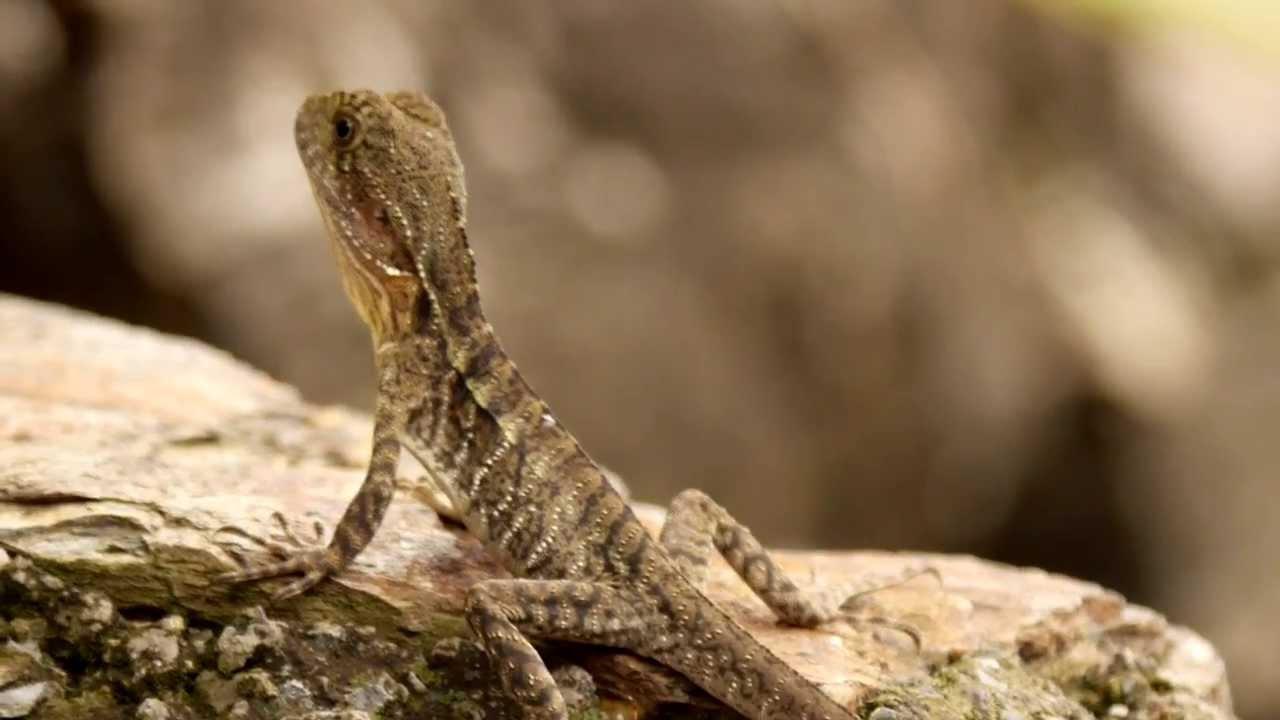 Australian Water Dragon: Young Australian Water Dragon (Physignathus Lesueurii
