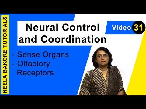 Neural Control and Coordination - Sense Organs - Olfactory Receptors