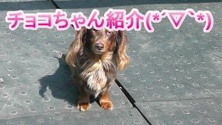 ドッグルームのワンちゃん紹介(*´▽`*) チョコちゃん紹介動画です(*´▽`*)