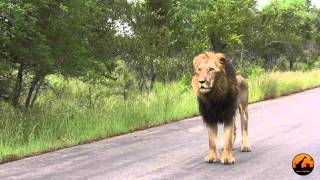 Unusual Lion Behavior With 2 Sets of Roaring)  14 January 2013 - Latest Sightings