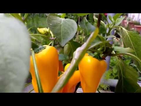 Мини перец сладкий на подоконнике.   подоконнике   выращивания   вырастить   террасе   сладкий   балконе   перец   легко   краси   опыт