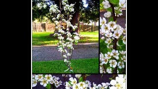 How To Plant Dwarf Fruit Trees: Backyard Garden Mini Orchard