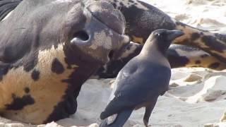 как ворона делает хорошо Индийской корове