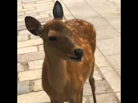 Japanese Deer Will Make You Burst Out Laughing!