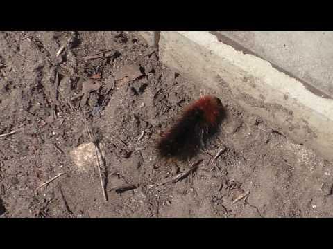 Мохнатая гусеница Медведица-кайя, интересное наблюдение.