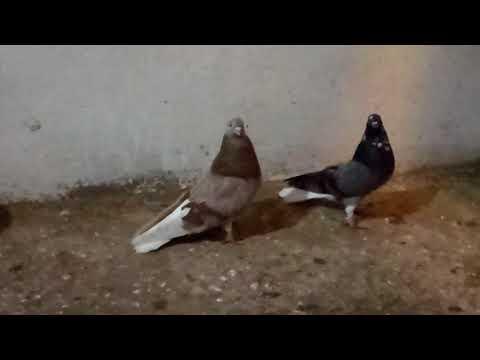 Мелитополь. Николаевские голуби.