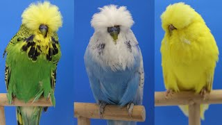 Daniel Lütolf Budgerigars 2016  Part I (Breeding Pairs, youngsters & Tips for newbies)