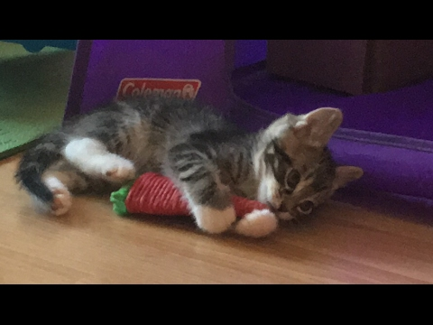 Crazy Six Week Old Kittens Playing!