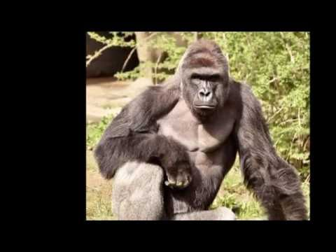 Tribute to Harambe Song (1 HOUR)