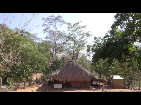 El guáimaro, un árbol contra la desnutrición y cambio climático