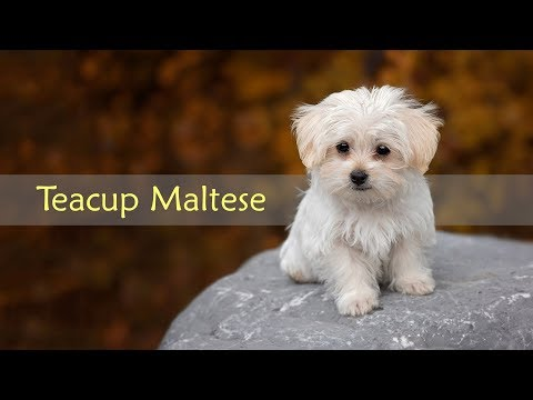 teacup-maltese-–-dog-breed-information-on-the-toy-maltese
