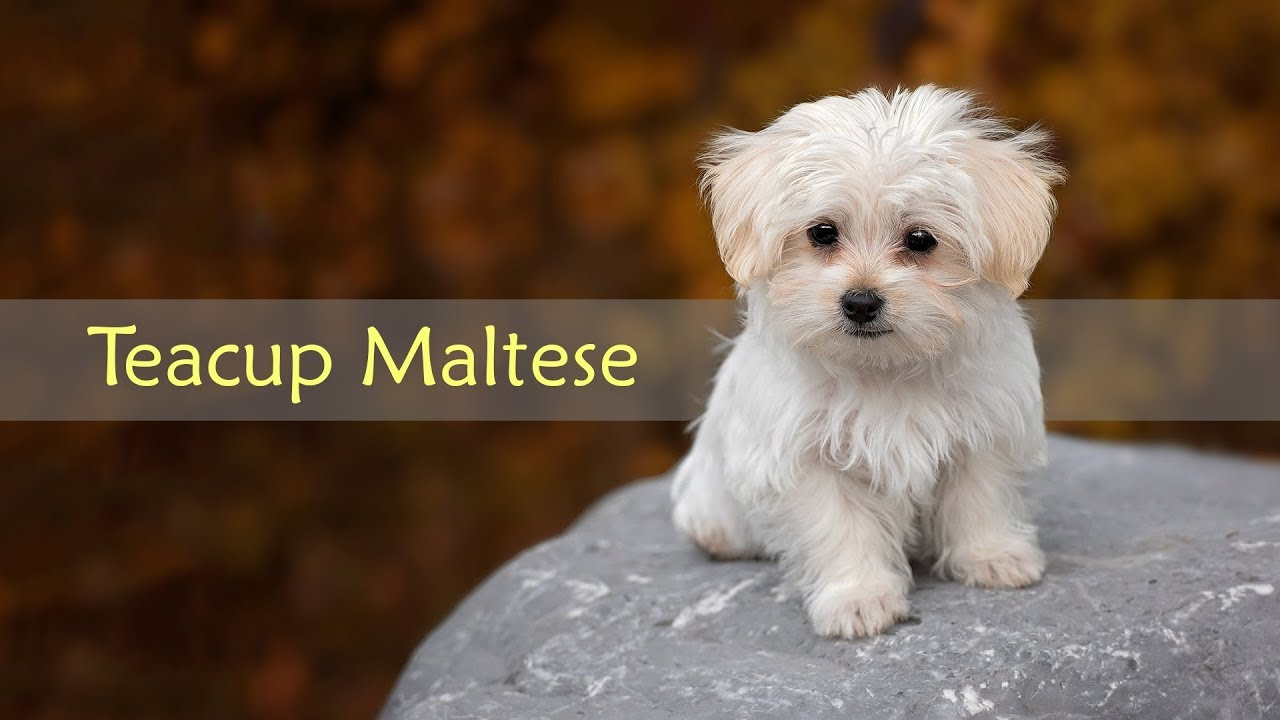 Teacup Maltese Dog Breed Information