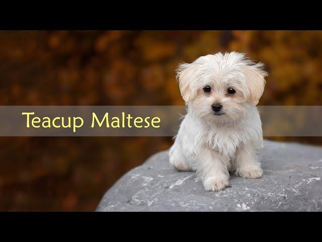 Teacup Maltese Dog Breed Information