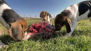 Foxhound puppies feasting on the best beef as part of their BARF diet