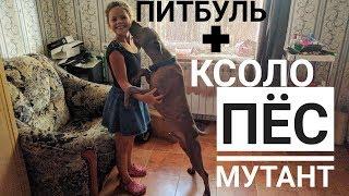 """Собака Мутант!! Питбуль """"скрестился"""" с Мексиканской лысой собакой (Ксолоитцкуинтли, Xoloitzcuintle)!"""