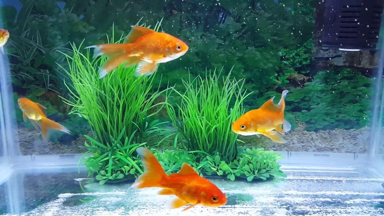 Image result for ماسی زینە