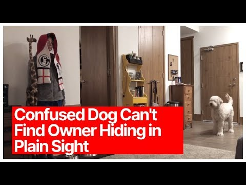 Confused Dog Can't Find Owner Hiding in Plain Sight