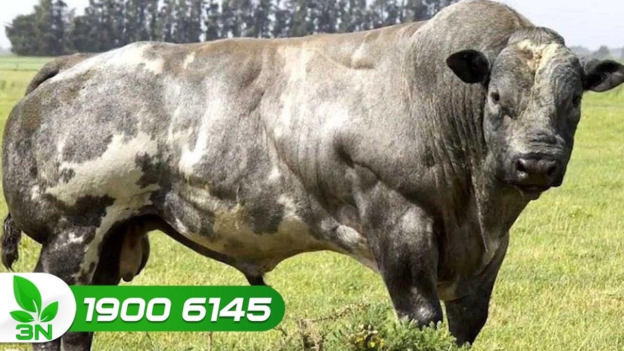 Kỹ thuật nuôi bò 3B: Từ thức ăn, phòng bệnh đến chuồng trại
