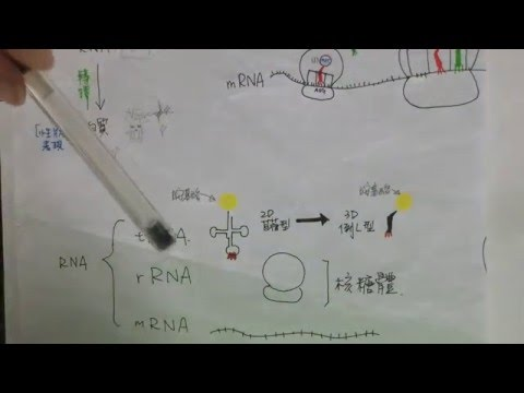 RNA轉譯translation ver基礎生物 part 1/3