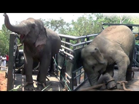 Captured elephants getting aggressive after loaded to vehicle !