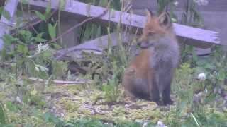 雫石の自然No174:我が家の元作業場を子育ての場にしているキツネの家族 thumbnail