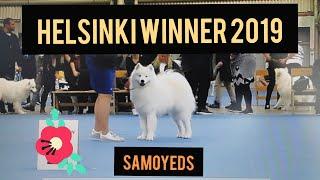 Helsinki Winner 2019  Samoyeds  International All Breed Dog Show  Samojedinkoirat