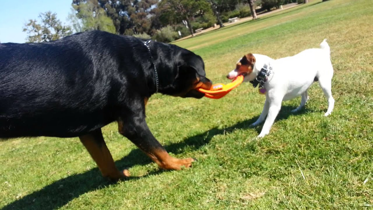 Rottweiler Vs Jack Russell TUG Of WAR YouTube - Terrier and rottweiler