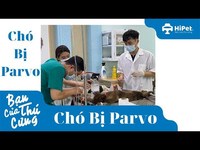 Chó Bị Parvo - HiPet