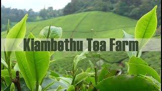 Download Video Kiambethu tea farm(Best one day trip from Nairobi) Limuru Nairobi Kenya Episode 7 MP3 3GP MP4