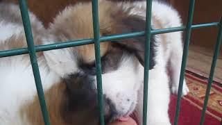 Московская Сторожевая 1,5 мес. Мальчики. ПРОДАЖА +380637272160