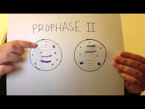 meiosis project