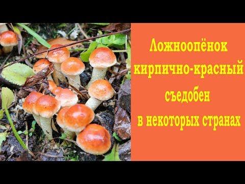 Ложноопёнок кирпично-красный собирают в некоторых странах.