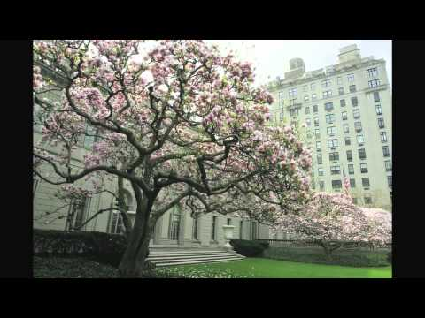 Magnolia Trees In Bloom Youtube