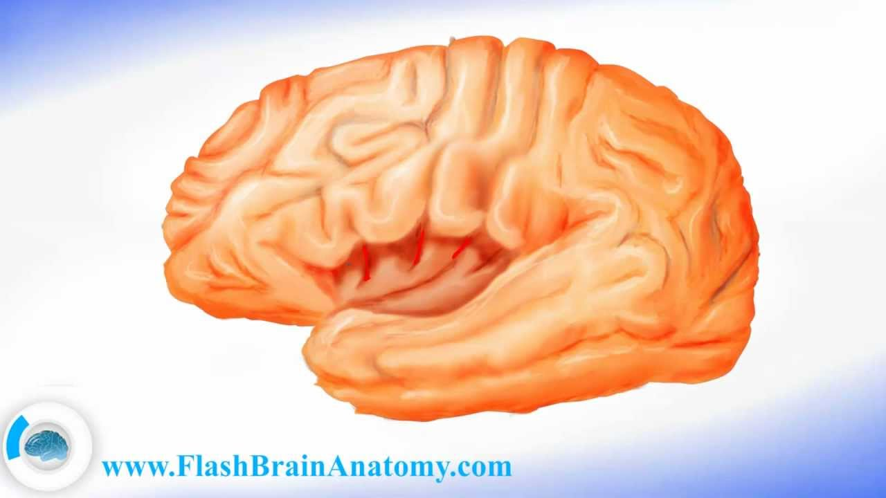 Brain Anatomy Lateral Cortex Of The Brain Youtube