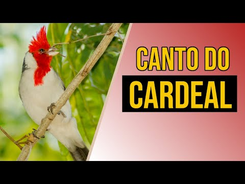 CARDEAL BAIXAR CANTO PASSARO GRATIS