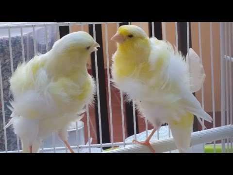 Canario Rizado Del Norte Aves Exóticas